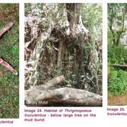 T-truculentus-Habitat