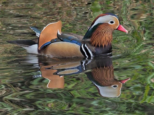 -Mandarin Duck M30s.jpg