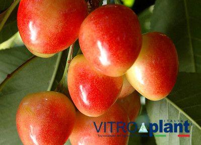 cerezo Starblush, variedad de cereza Starblush, cereza media estación, cereza bicolor