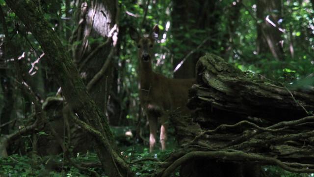 bigwood-deer.jpg