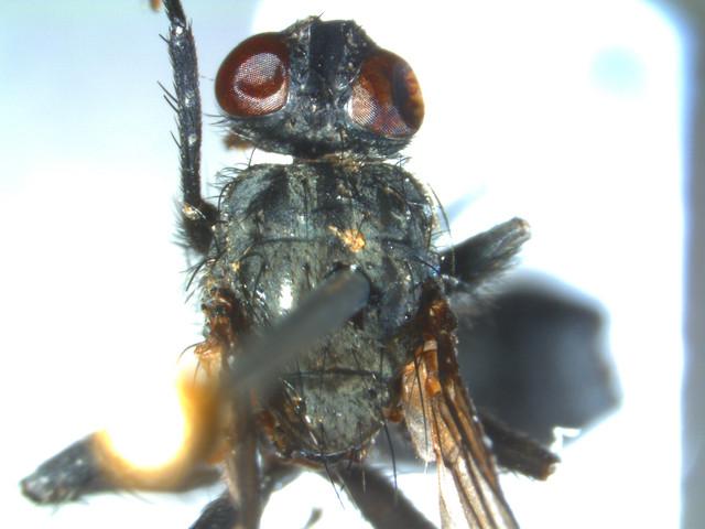 Calliphoridae-m4