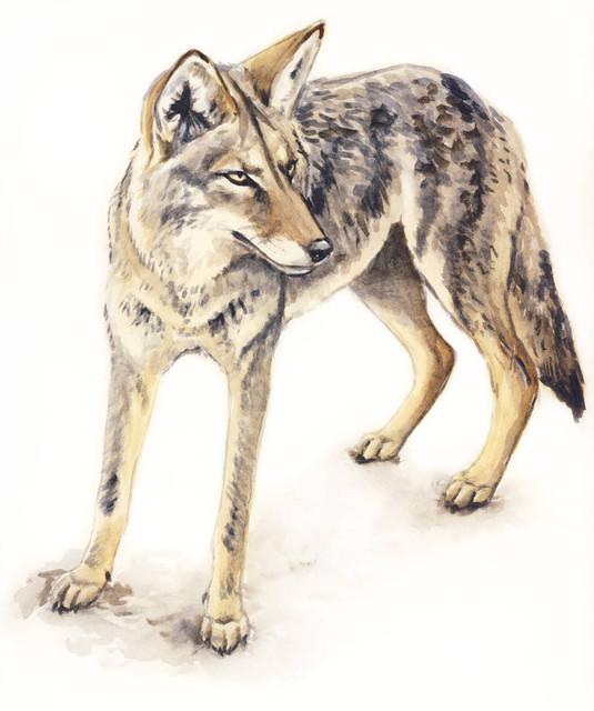 Coyote-3.jpg