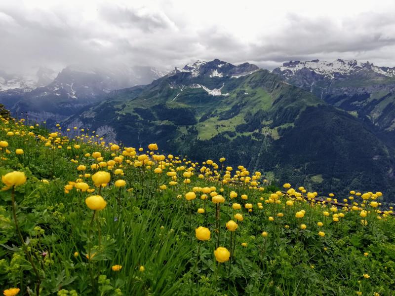 Globe flowers with