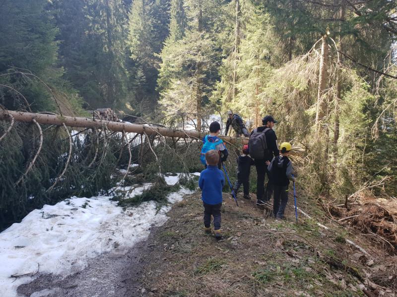 Fallen fir tree obstacle