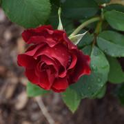 roze21