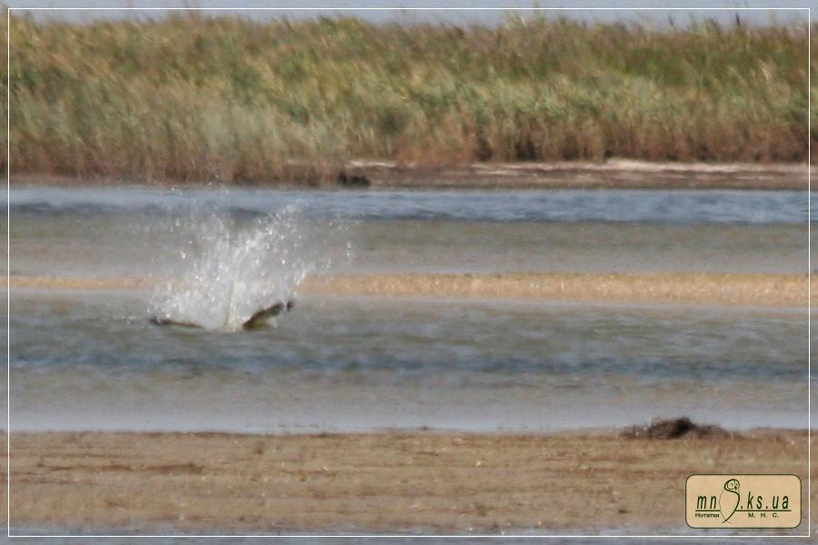 Скопа (Pandion haliaetus) в Чорноморському біосферному заповіднику. Невдалий кидок за кефаллю