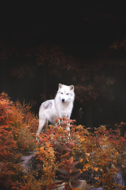 fall-wolf-2.jpg