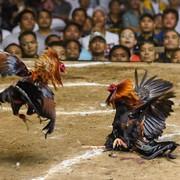 [Image: Cock-Kill-Owner-in-India.jpg]
