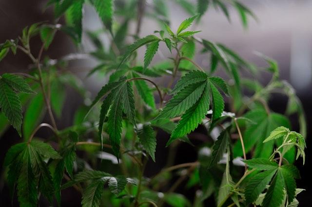 https://i.ibb.co/pWqTWYZ/pure-cannabis-products.jpg
