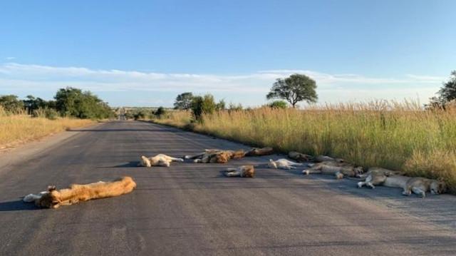 68970-corona-melanda-singa-taman-nasional-kruger-afrika-selatan-tidur-di-tengah-jalan