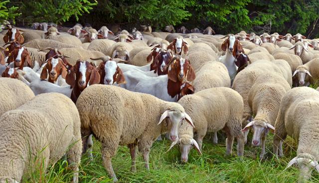 8 Listen mit Schafnamen für Hausziegen und Schafe