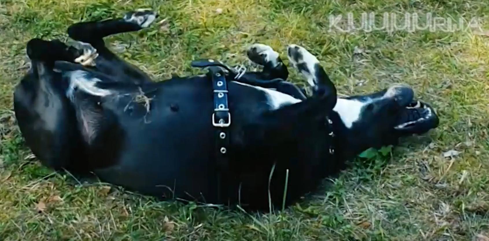 Семья спасла истощенную собаку от алкоголика и асоциала, но полиция на стороне прежнего хозяина