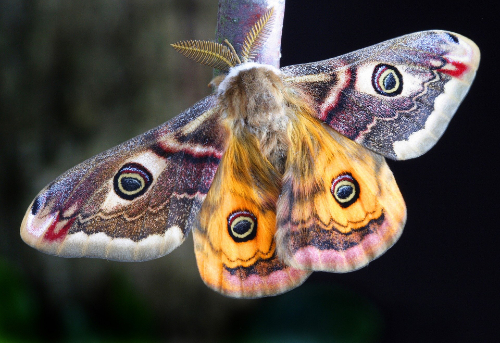 An image of a moth. Moths are much-maligned as harbingers of death.