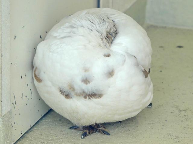 這鸟休息時會把喙掩埋在羽毛中,就像個大福餅一樣 Image