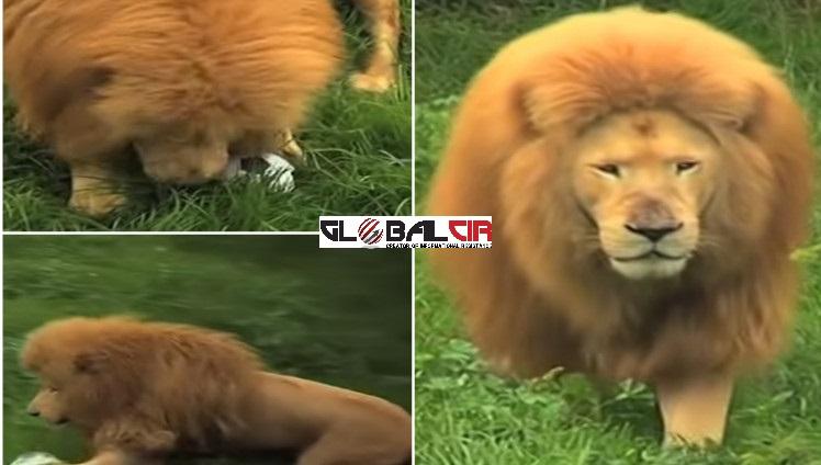 VIDEO: Probajte ovom lavu oduzeti loptu!