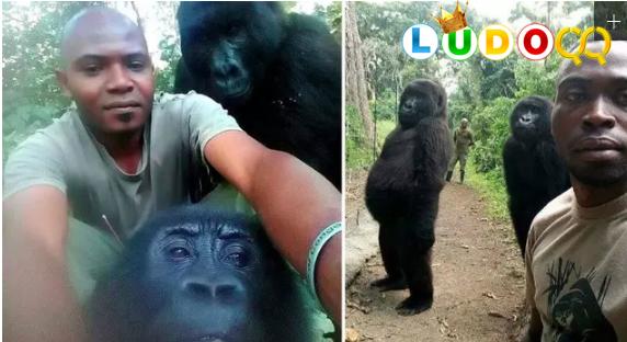 Selfie dengan Penjaga Hutan, Gorila Berpose Seperti Manusia Bikin Heboh Warga