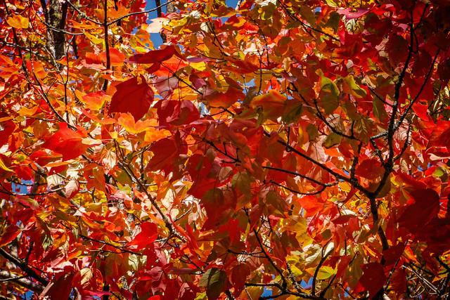 maple-leaves