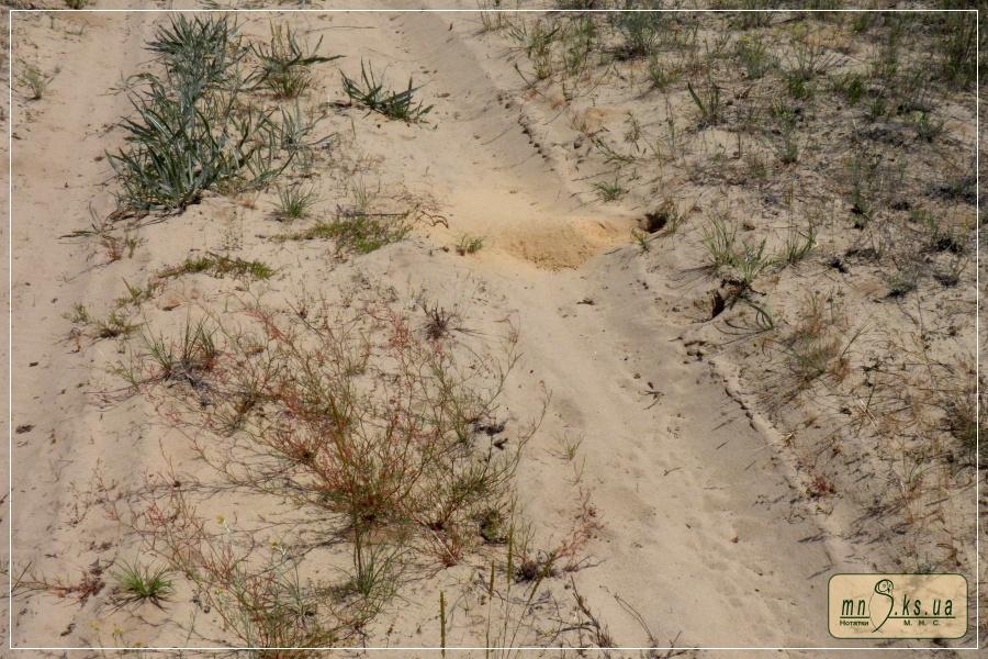 Нора бджолоїдки звичайної (Merops apiaster)