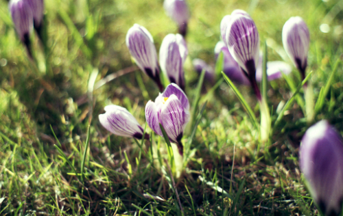 An image of the crocus, © Icy Sedgwick
