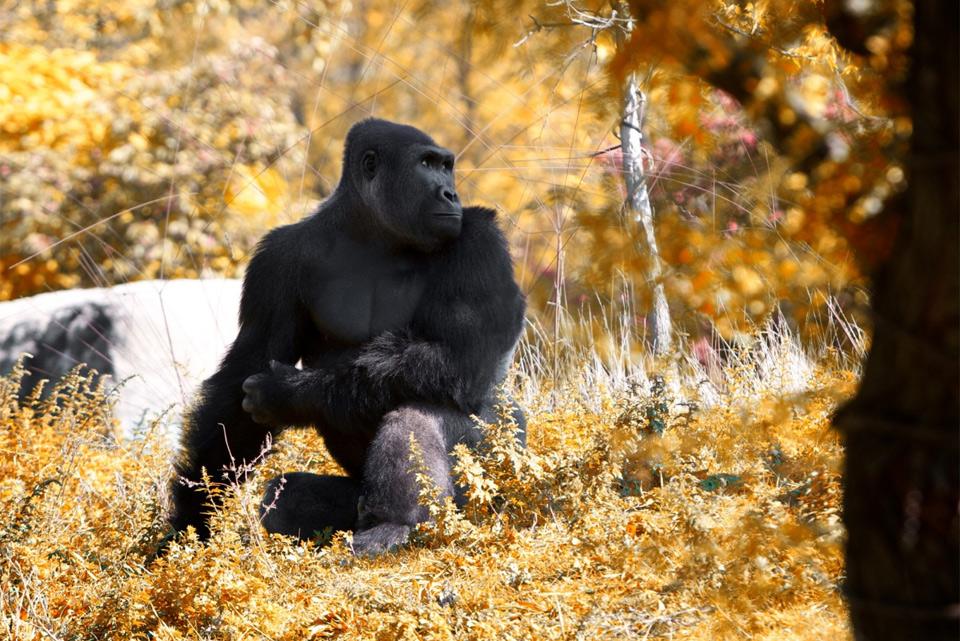 gorilla-in-autumn-detroit-zoo