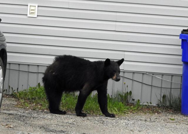 bear a.jpg