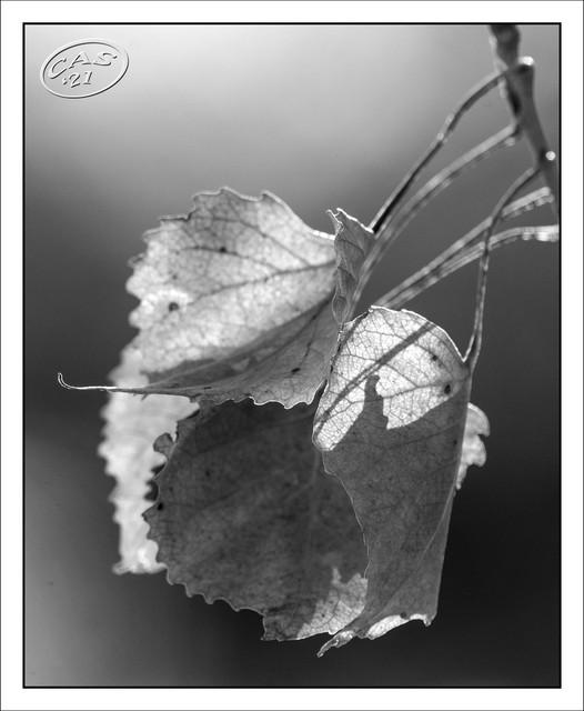 leaves-backlight-CAS05855.jpg
