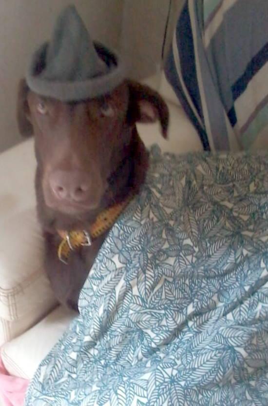 Doa-se cão Labrador adulto no Rio de Janeiro Chicao