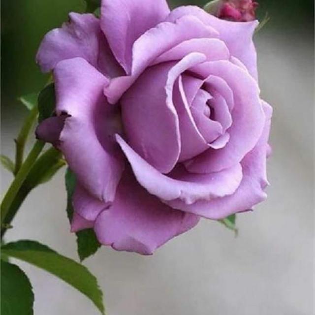 Pode ser uma imagem de rosa e ao ar livre