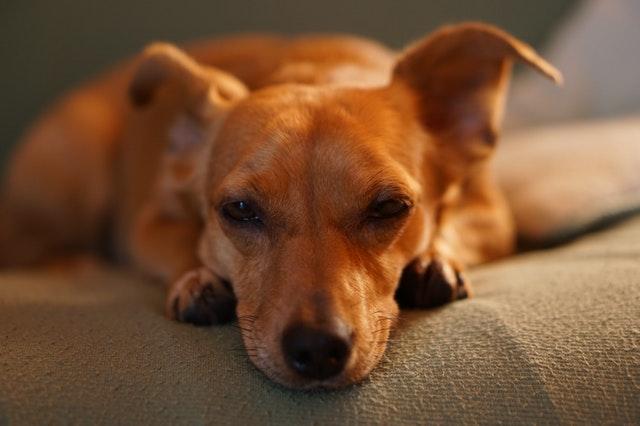 https://i.ibb.co/rQ8bvpB/dachshunds-puppies-to-buy-online.jpg