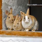 rabbit-2409186-960-720