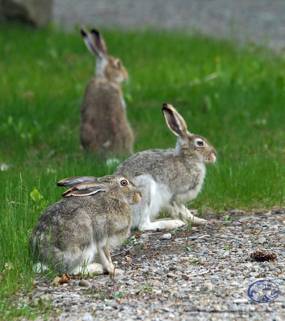 rabbits-CAS02672