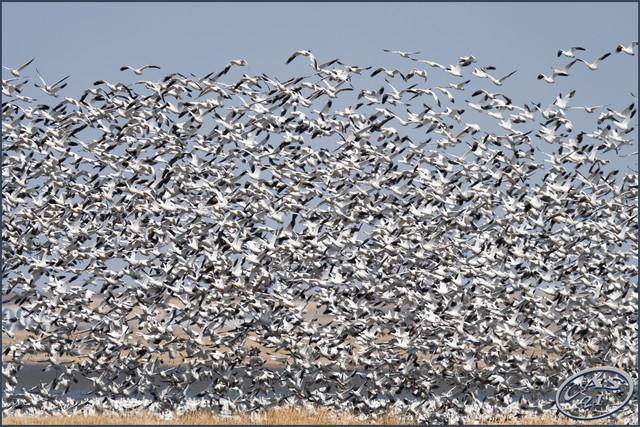snow-geese-horsefly-CAS04085