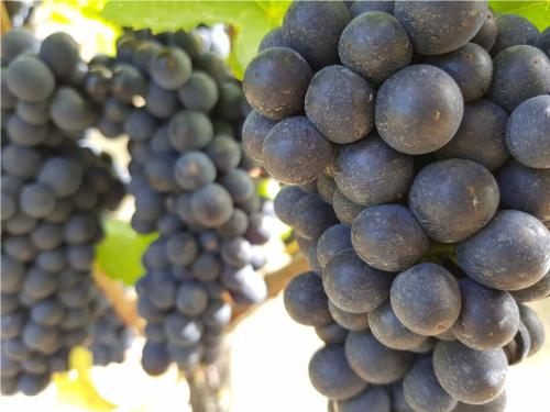 Mornington Pinot Grape