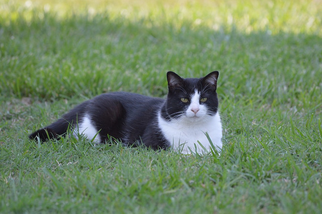 Get to know the characteristics of a Mixdome cat and its advantages