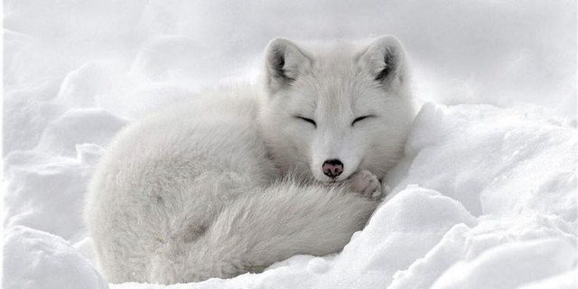 Patronus-Never-Arctic-Fox