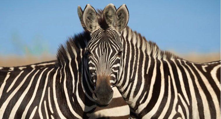 Fotografisao je dvije zebre, ljudi se ne mogu dogovoriti koja gleda u kameru