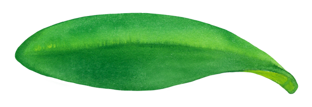 Leaf-of-orchid.png