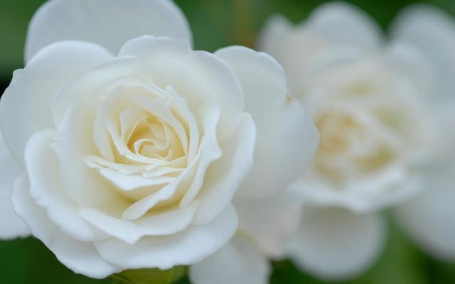 rozi-lepestki-belie-zastavka
