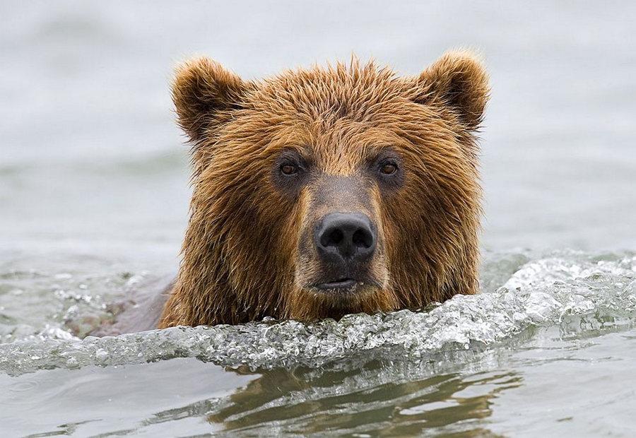 Невероятные фотографии медведей 19