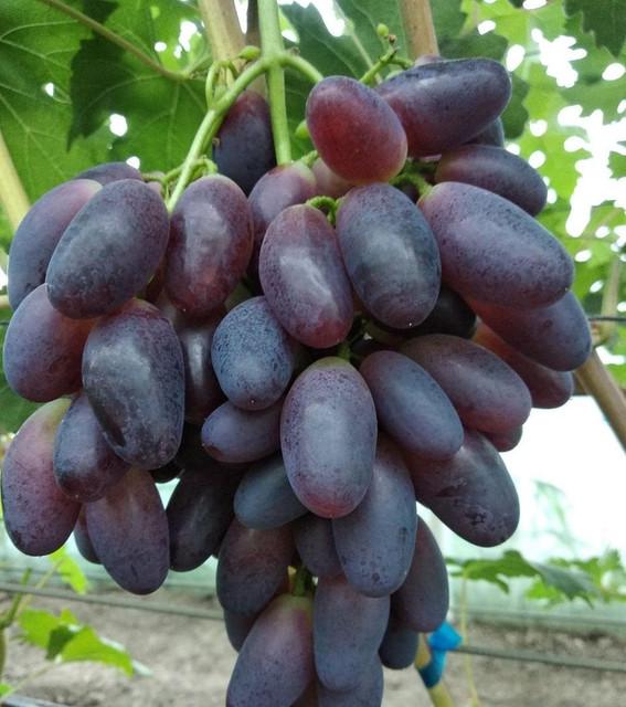 2521073245-w640-h640-sazhentsy-vinograda-nahodka