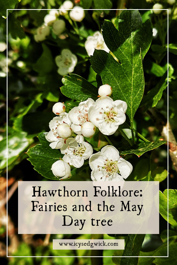 The hawthorn is believed to be the fairy tree and it's unlucky to bring indoors. What other folklore should you know about this magical tree?