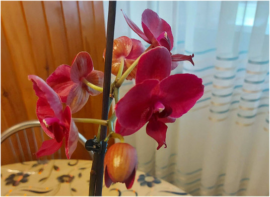 orhideja-sara