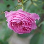 roze10