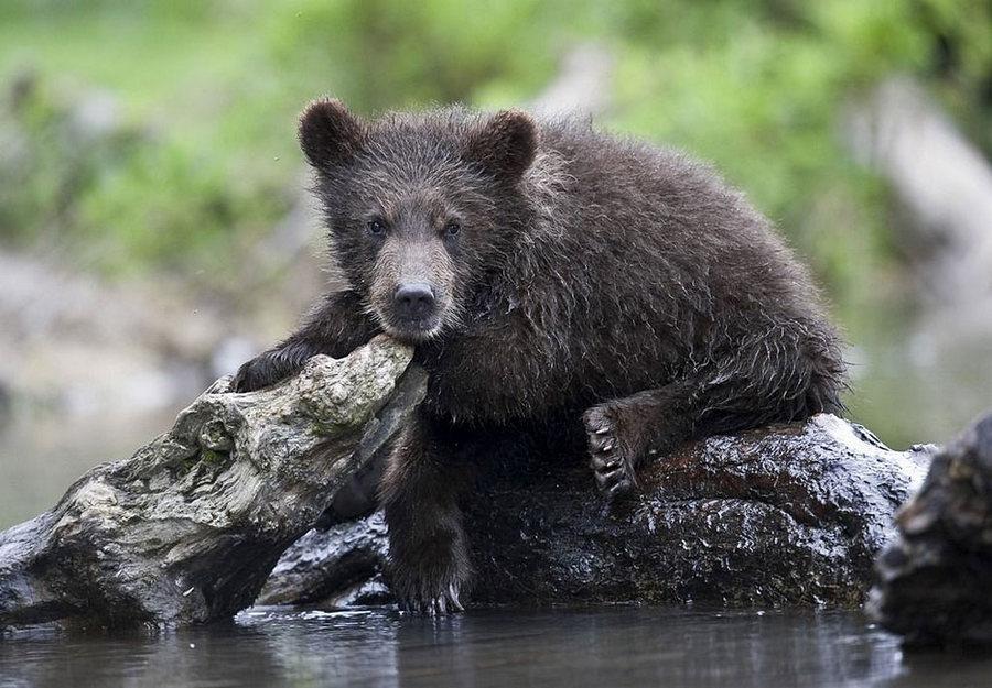 Невероятные фотографии медведей 5