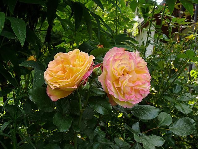 rose-monique-lestournelle.jpg