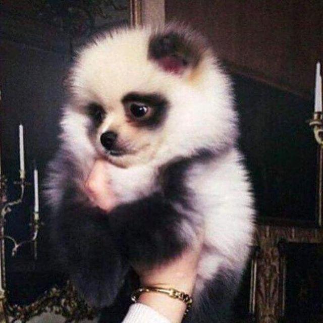 Все собаки, как собаки, а я панда