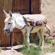 esel-und-transport-marokko-afrika-werden-f-r-benutzt-leute-benutzen-sie-besonders-um-verschiedene-sa