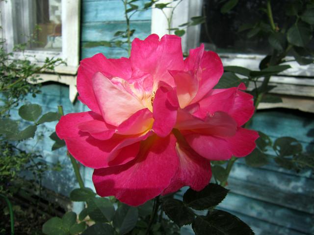 2020-09-07-rose-01