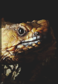 https://i.ibb.co/tD2dvrZ/cordylus-cataphractus-01.png