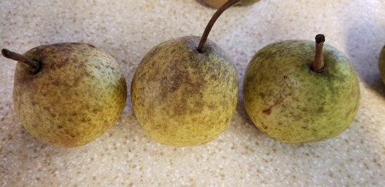 Unmolested pears